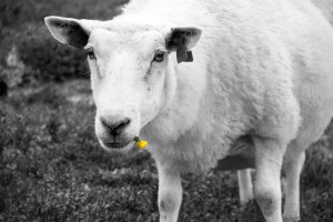 Sheep Rondane bh