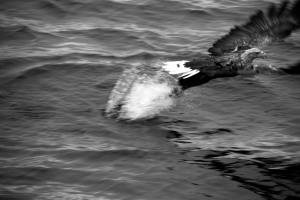Sea eagle III