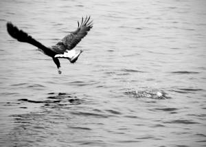 Sea eagle IV