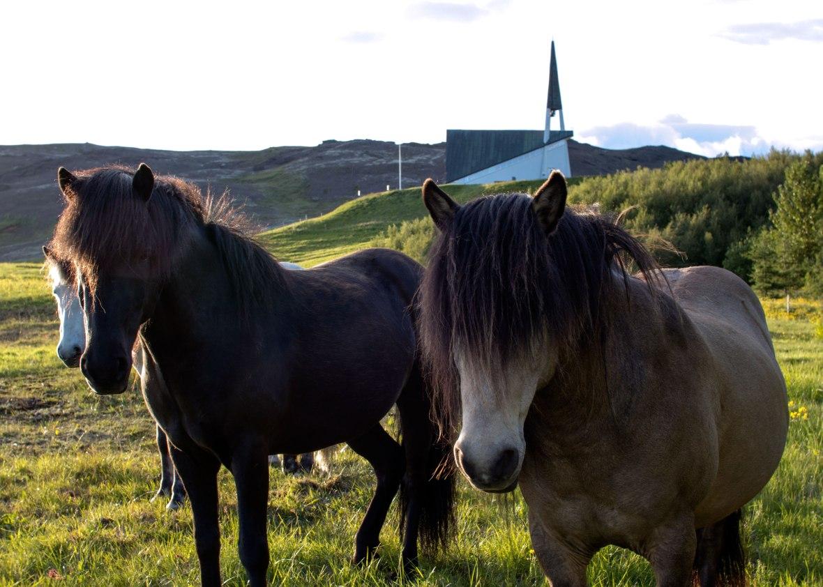 Iceland-Horses