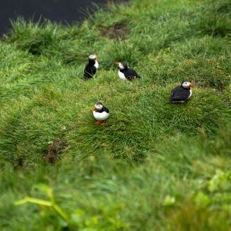 Atlantic-puffins