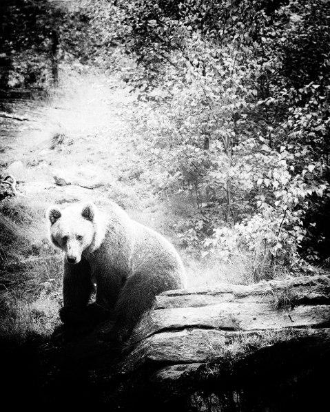 brown-bear-iii