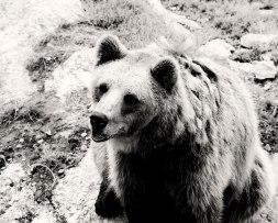 Brown-Bear-II