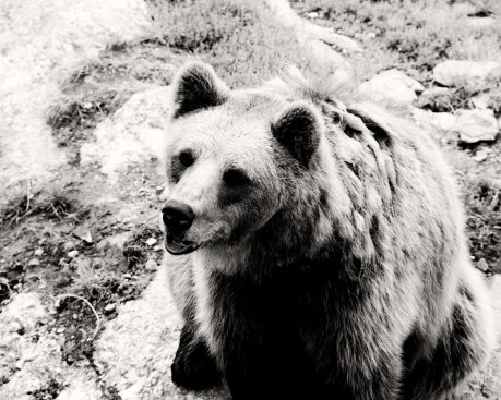 Brown-Bear-II